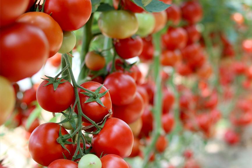 Tomates y sofritos